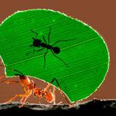 Муравьи листорезы: особенности жизненного цикла насекомых