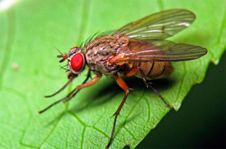 Земляная муха