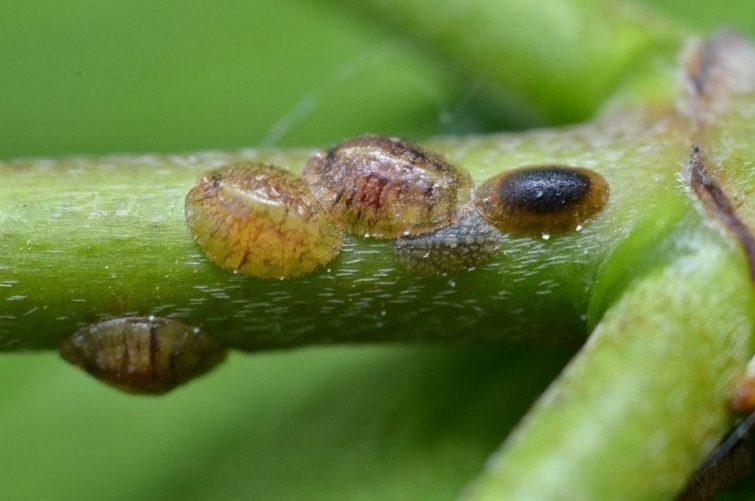 Щитовка (по-латыни «Diaspididae»)