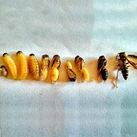Как найти и уничтожить осиное гнездо с личинками