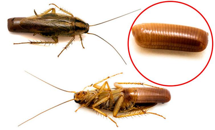 Оотека таракана