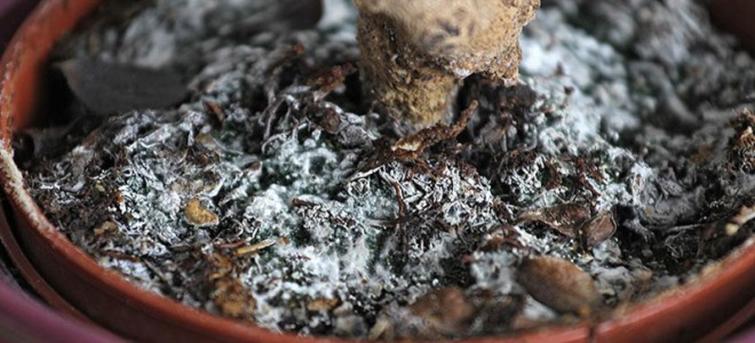 Как плесень появляется в цветочных горшках