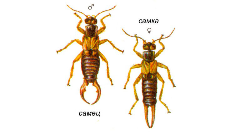 Уховертка насекомое. Образ жизни и среда обитания уховертки