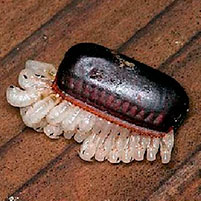 Где тараканы откладывают яйца в квартире