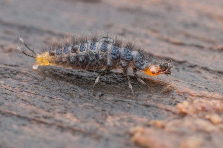 Личинка жужелицы