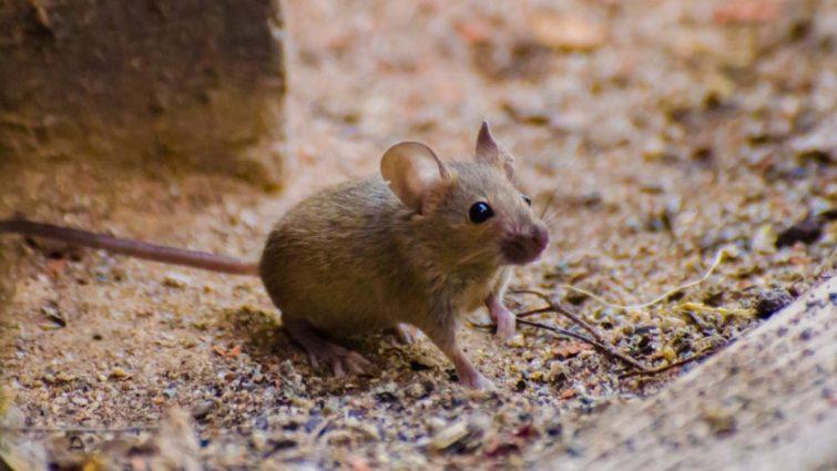 Мышь, как переносчик заболевания