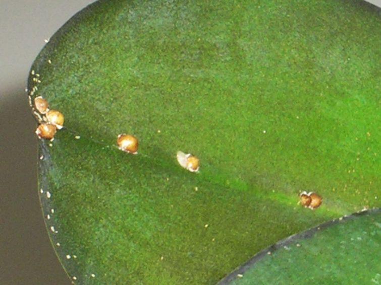 Орхидея зараженная щитовкой