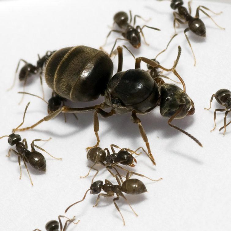 Садовые муравьи