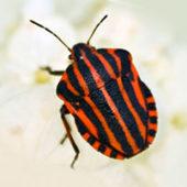 Итальянский клоп: особенности насекомого и методы борьбы с ним