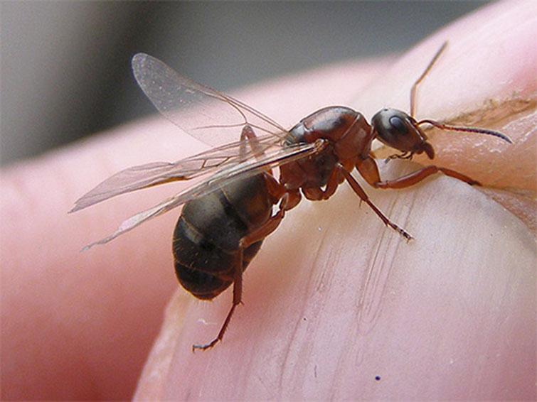 Матка рыжего муравья