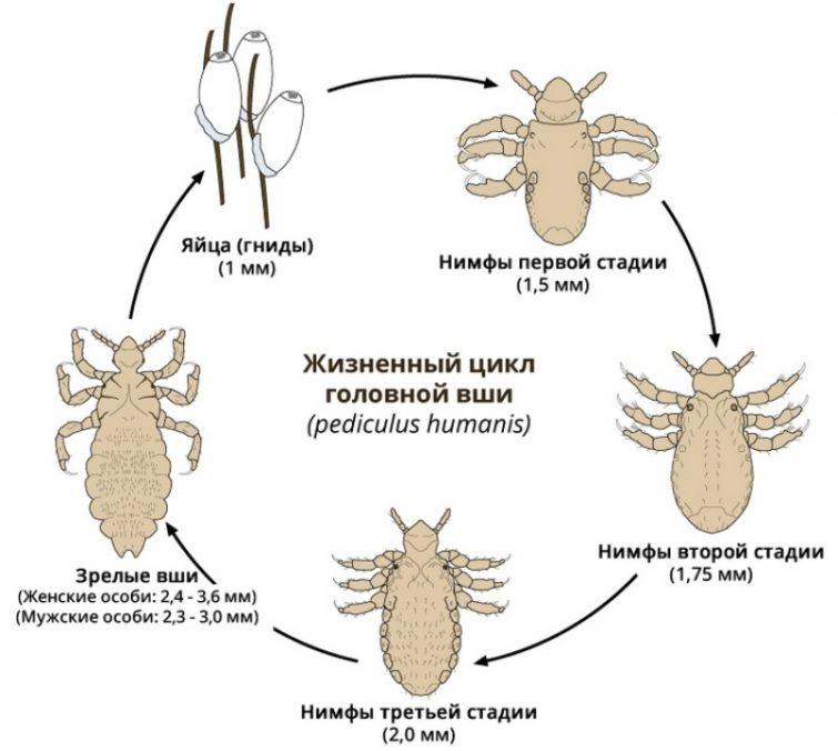 Жизненный цикл и размножение вшей и гнид