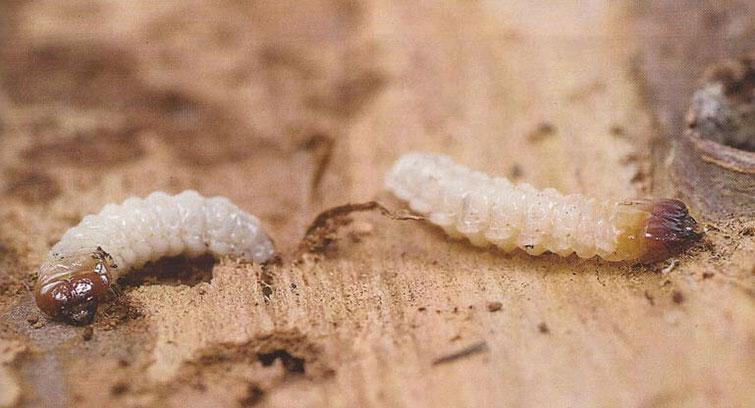 Лечинки шашеля