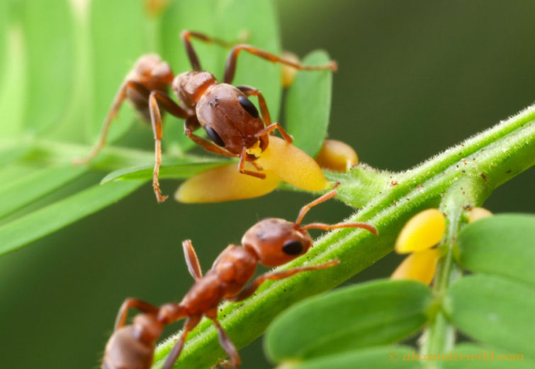 Акациевые муравьи