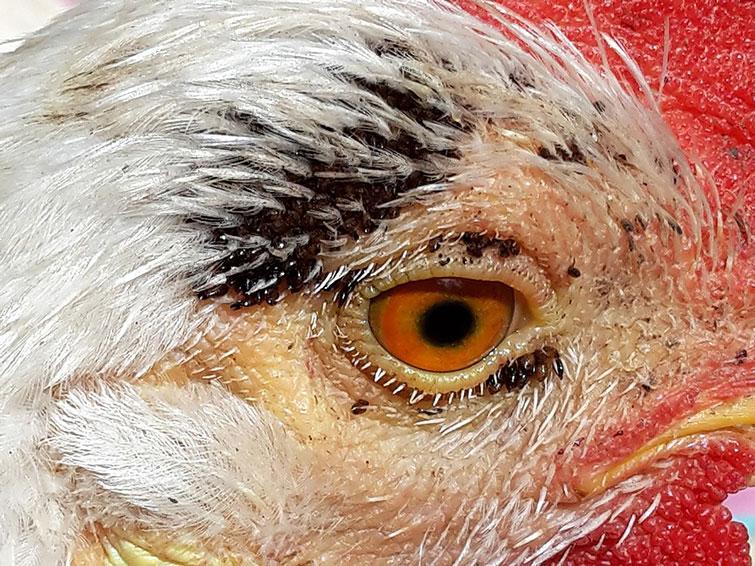 Какой вред наносят куриные блохи
