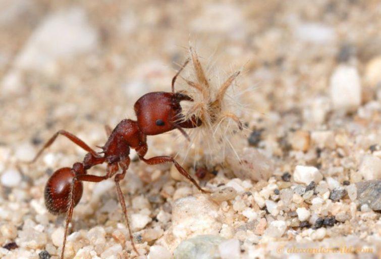 Американский красный муравей жнец