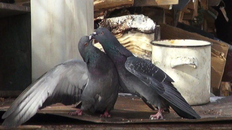 Чем вредят голуби