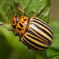 Чем травят колорадского жука