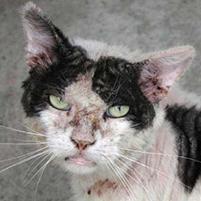 Эффективное лечение подкожного клеща у котов Подкожный клещ у котов нужно лечить
