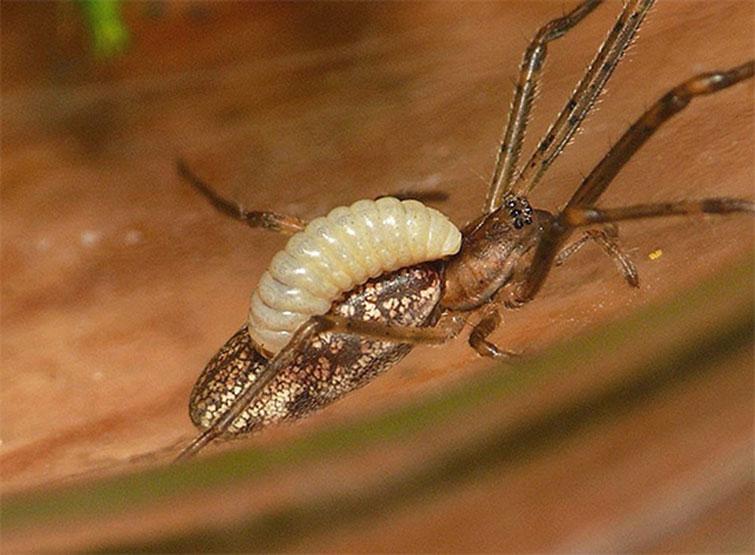 Личинка осы, питающаяся парализованным пауком