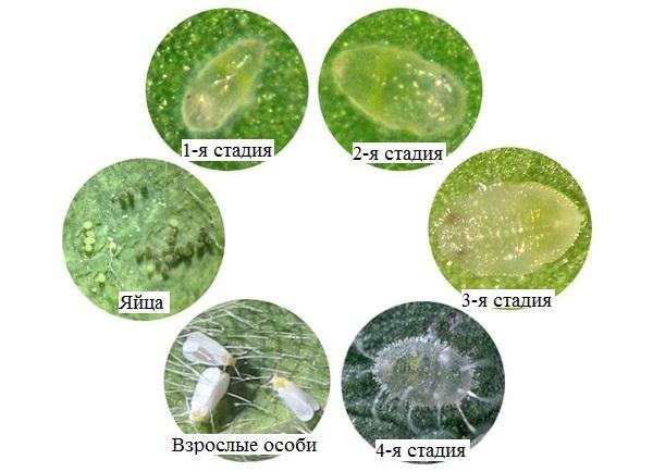 Жизненный цикл и размножение белокрылки