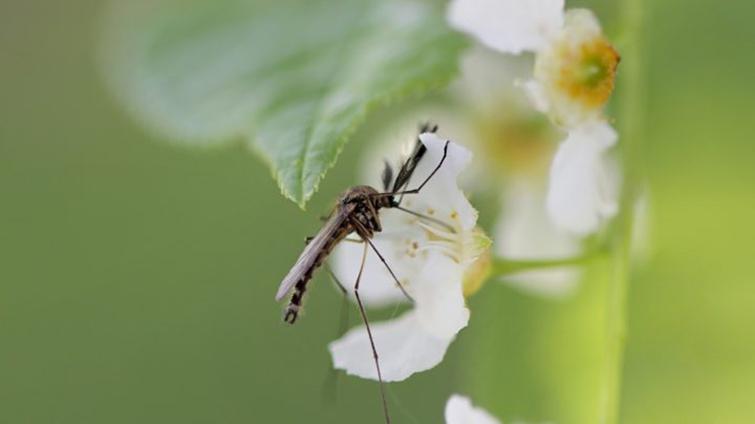 Что едят самцы комаров