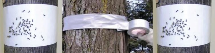 Понятие ловчий пояс и как он защитит дерево