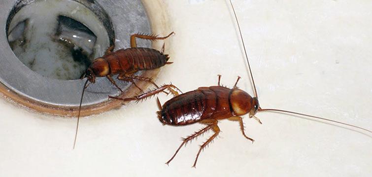 Как тараканы проникают в жилище