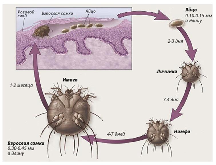 Жизненный цикл и размножение чесоточного клеща
