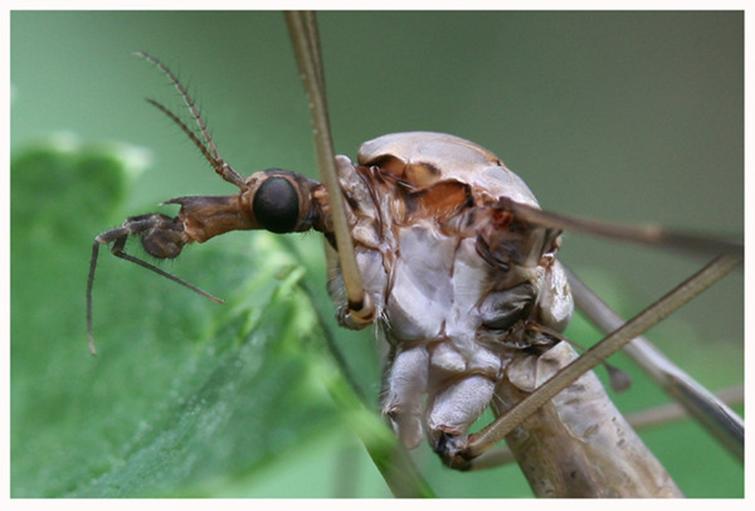 Хоботок комара долгоножки