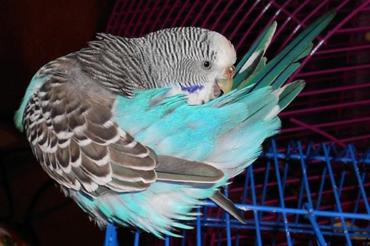 Как понять, что попугай заражен блохами