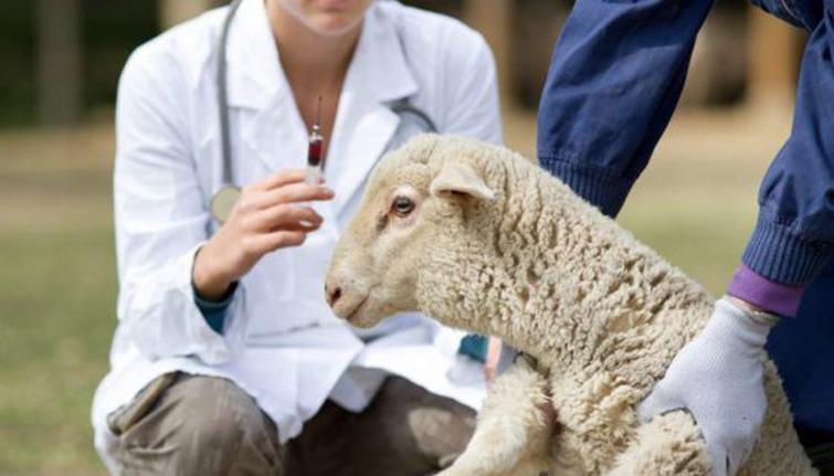 Инъекции овцам от клещей