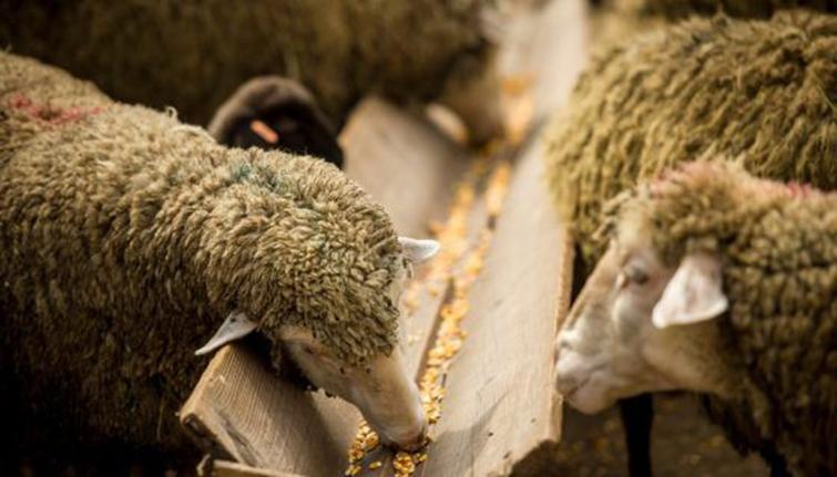 Лечение клеща у овец