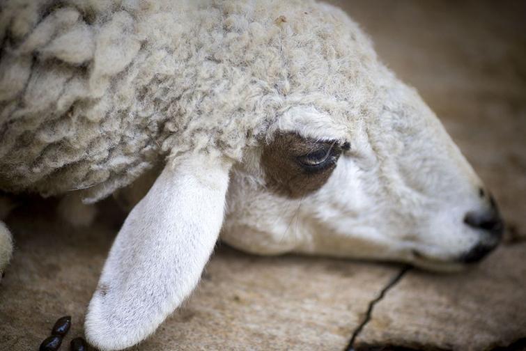 Как происходит заражение овец клещом