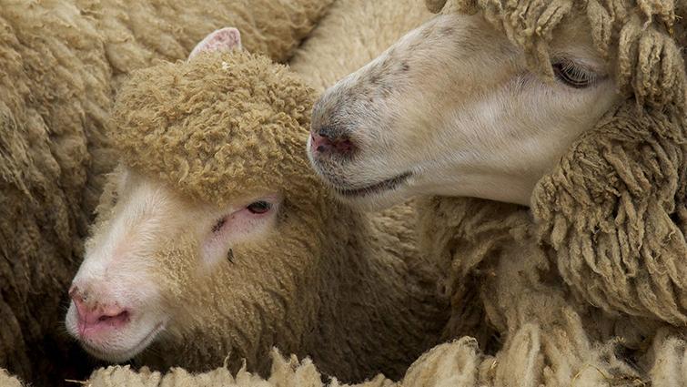 Клещи у овец