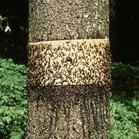 Липкие пояса на деревья