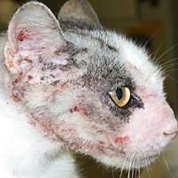 Чесотка у кошек и котов: симптомы и лечение
