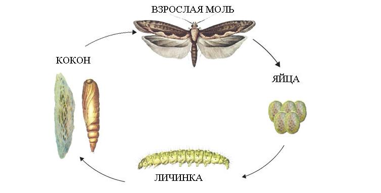 Жизненный цикл моли