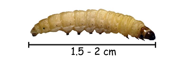 Пищевая гусеница
