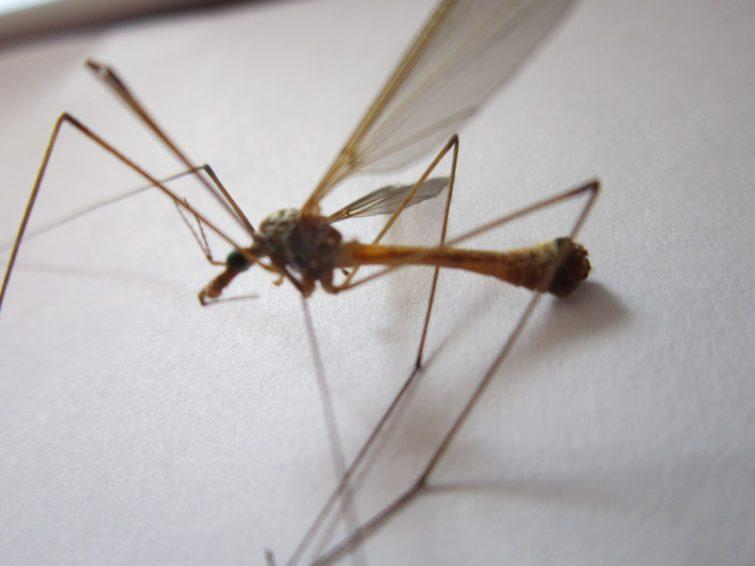 Внешний вид комара долгоножки