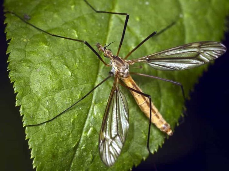 Особенности комара долгоножки