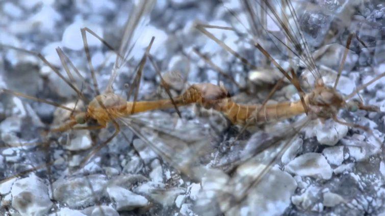 Размножение комара долгоножки