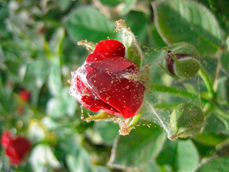Симптомы заражения роз паутинным клещом