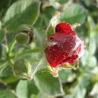 Как бороться с паутинным клещом на розах