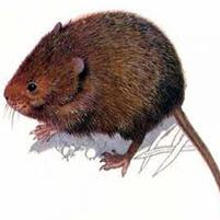 Как поймать земляную крысу