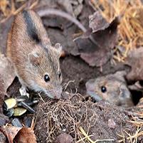 Как Избавиться от Полевых Мышей (на Участке, Даче, в Доме)