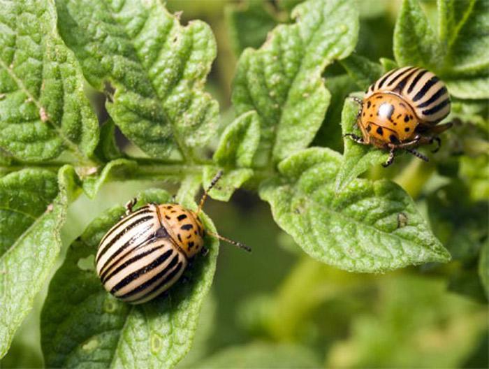 Табу средство от колорадского жука