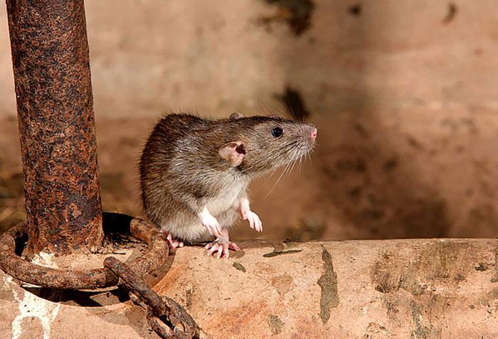 Мыши в гараже или машине: способы борьбы и уничтожения
