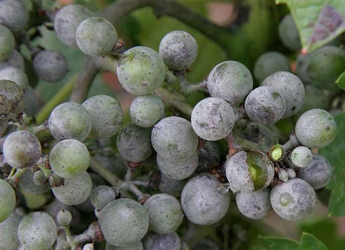Оидиум мучнистая роса на винограде как бороться чем опрыскивать видео