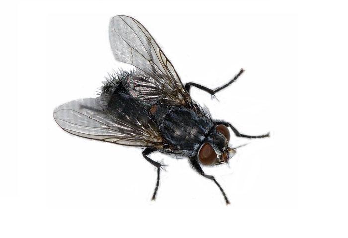 Как из опарышей вывести мух