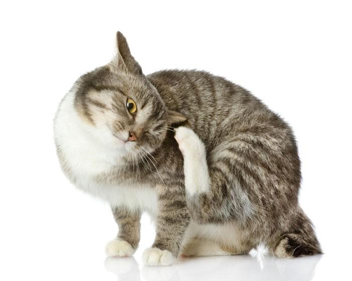 Чем можно вылечить блошиный дерматит у кота
